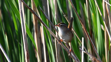 kamış : Marsh Wren, Cistothorus palustris, singing