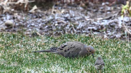 luto : Mourning Dove, Zenaida macroura on ground