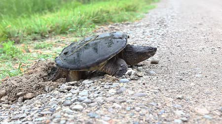 réptil : Common Snapping Turtle, Chelydra serpentina, laying eggs in gravel