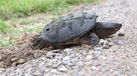 réptil : Common Snapping Turtle, Chelydra serpentina, laying eggs at road edge