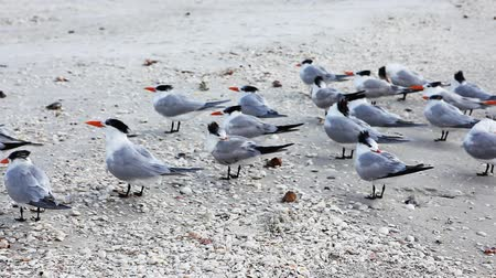 серый фон : Royal Tern, Thalasseus maximus, on the beach