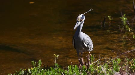violacea : Yellow Crowned Night Heron, Nyctanassa violacea, hunting in Everglades Stock Footage
