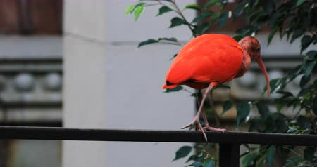 gregarious animal : 4K UltraHD Scarlet Ibis, Eudocimus ruber Stock Footage