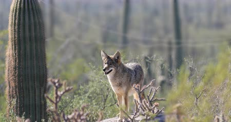 vivo : 4K UltraHD Watchful Coyote, anis latrans in the Sonoran Desert