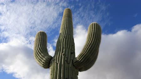 kaktusz : 4K UltraHD Timelapse looking up at large Saguaro Cactus Stock mozgókép