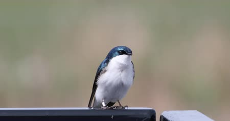 ave canora : 4K UltraHD Tree Swallow, Tachycineta bicolor, resting Vídeos