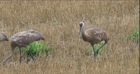 sandhill crane : 4K UltraHD Sandhill Crane, Grus canadensis, adult and two young