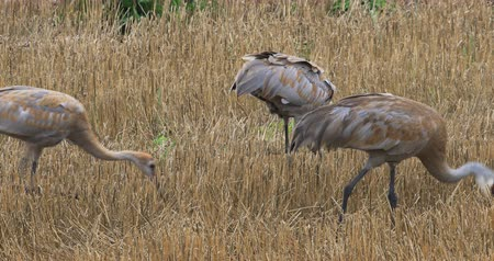 sandhill crane : 4K UltraHD Sandhill Crane, Grus canadensis, adult and two young feeding
