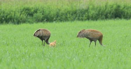 sandhill crane : Pair of Sandhill Cranes, Grus canadensis, with chick 4K