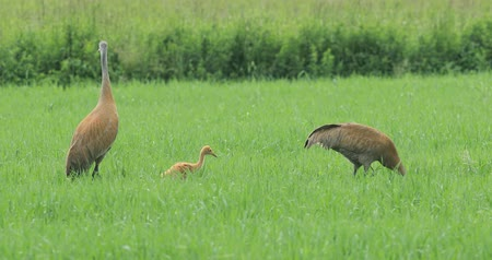sandhill crane : Pair of Sandhill Cranes, Grus canadensis, feeding with chick 4K Stock Footage