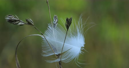 хрупкий : Blowing feather caught in plant 4K Стоковые видеозаписи
