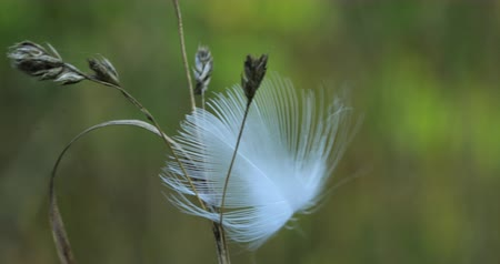 arejado : Blowing feather caught by plant 4K