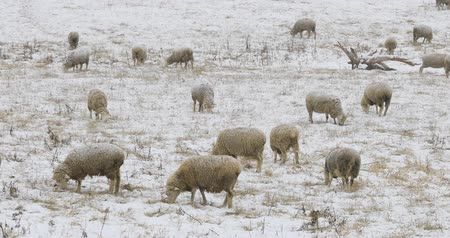 cinemagraph : Cinemagraph, Looped, Flock of sheep feeding in field in snow