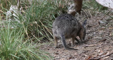 wallaby : Tammar Wallaby, Macropus eugenii, eating 4K