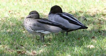 padok : Pair of Australian Wood Duck, Chenonetta jubata 4K