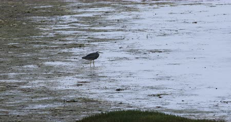 necked : White-faced Heron, Egretta novaehollandiae, walking 4K