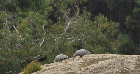 canguru : Pair of Cape Barren Goose, Cereopsis novaehollandiae 4K