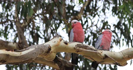 papagaio : Galah pair, Eolophus roseicapilla, perched in tree 4K Stock Footage
