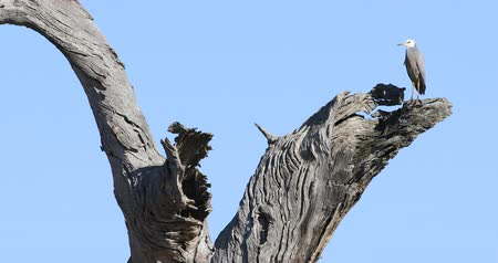 necked : White-faced Heron, Egretta novaehollandiae, in huge gum tree 4K