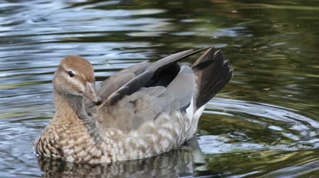 water hole : Male Australian Wood Duck, Chenonetta jubata, preening