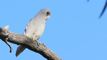 perched on branch : Long-billed Corella, Cacatua tenuirostris, on a branch Stock Footage
