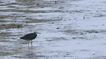 necked : White-faced Heron, Egretta novaehollandiae, in sea