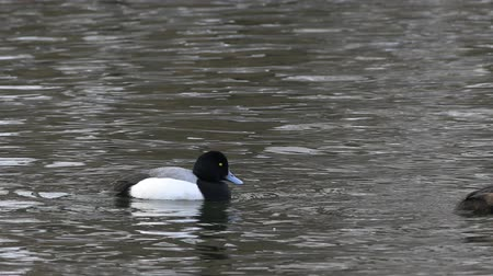 greater : Pair of Greater Scaup, Aythya marila, swimming Stock Footage