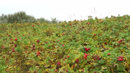 felicia : colorful beach roses on the promenade of Hiddensee Island (Germany). Rose hips in autumn time. Stock Footage