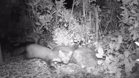 european beech : beech marten (Martes foina) looking out for cat food in a garden. infrared camera video. Stock Footage