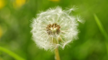 исцелять : dandelion with seeds Стоковые видеозаписи