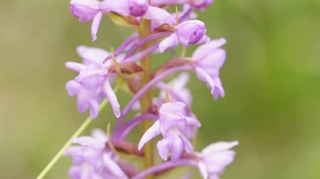 orchideák : wild orchid in Germany