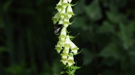 benekli : yellow foxglove with humble-bee