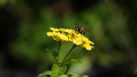 west wing : Hover-fly on west Indian lantana