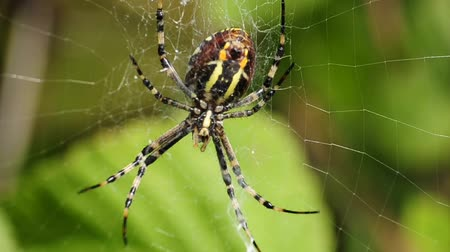 cross spider : wasp spider