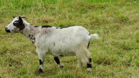 cabra : dwarf goat on a pasture