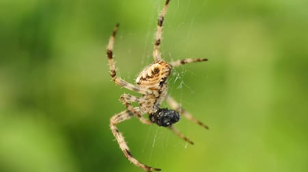 cross spider : garden spider with victim Stock Footage