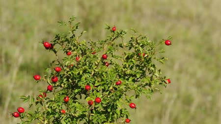 rosehips : rose hip