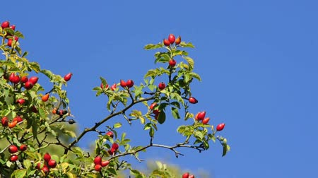 rosehips : rose hips