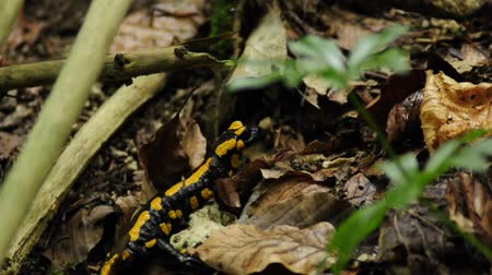 desenli : Salamander in a forest Stok Video