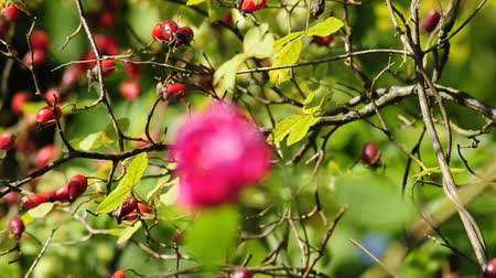 rosehips : rose and rose hips Stock Footage