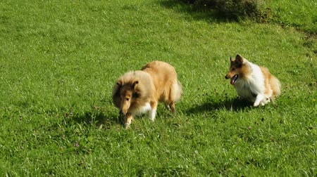 playing with a dog : running collie dogs