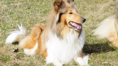 pastore scozzese : Collie dog