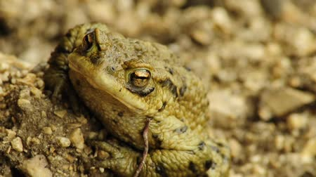 forest animals : Common toad Stock Footage