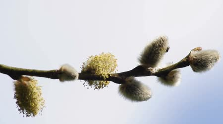 посланник : Willow blossom