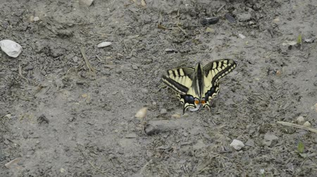 tiger butterfly : Swallowtail butterfly Stock Footage
