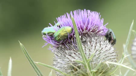 diurnal : Flower scarabs on thistle