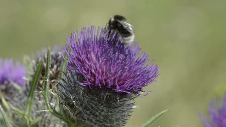 cardo : Bumblebee on thistle Vídeos