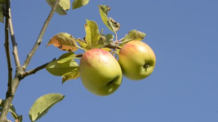dal : ripe apples at a tree with a blue sky