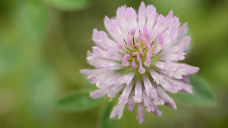 clovers : red clover, medicinal plant