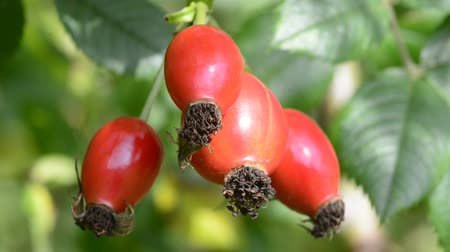 rosehips : rose-hips Stock Footage